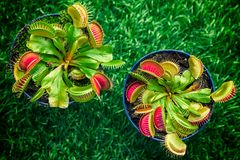Young bright green Dionaea muscipula. Close-up of a young bright green Dionaea muscipula in a pot on a green artificial grass, top view Stock Photos
