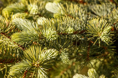 Young bright green needles on a spruce branch Stock Image