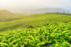 Young bright green tea bushes at tea plantation in evening. Beautiful young bright green tea bushes at tea plantation in evening royalty free stock photography