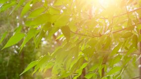 Young bright leaves in front of day sun in springtime. Leaves of tree in sunny day with sun blinking. Organic eco stock video