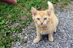 A young bright red kitten Royalty Free Stock Image