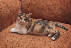 Young brindle cat lying on the sofa Royalty Free Stock Images