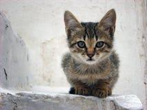 Young brindle kitten posing at the camera lens Royalty Free Stock Image