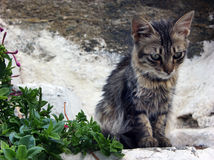 Young brindle longhair kitten sad looking on the step Royalty Free Stock Photos