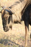 Young brindled gnu at sunset Royalty Free Stock Image