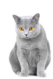 Young British blue cat sitting on white Royalty Free Stock Photos