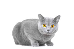 Young British blue cat sitting on white Stock Images