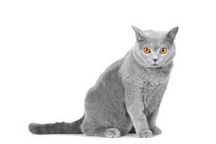 Young British blue cat sitting on white Royalty Free Stock Image