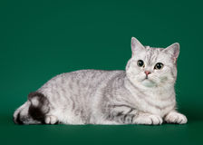 Young british cat. On dark green background Stock Photography