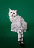 Young british cat Royalty Free Stock Images