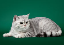 Young british cat Royalty Free Stock Image
