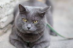 Young british cat looking towards camera Royalty Free Stock Photos