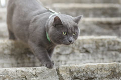 Young british cat on stairs Royalty Free Stock Photos