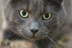 Young british gray cat hunting outdoors Royalty Free Stock Images