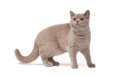 Young british kitten Stock Photos