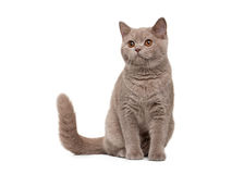 Young british kitten on white background Stock Photos