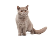 Young british kitten on white background Royalty Free Stock Photo