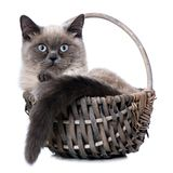 Young british shorthair cat lying in a basket royalty free stock photography