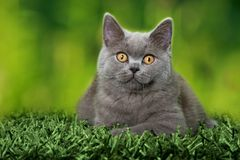 Young british shorthair cat lying on a carpet royalty free stock photography