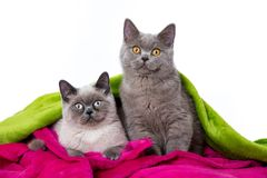Young british shorthair cats on white background royalty free stock photo