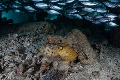 Young Broadclub Cuttlefish in Raja Ampat royalty free stock photos