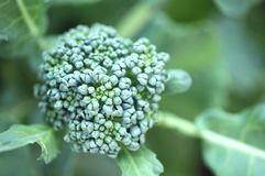 Young broccoli flower Stock Images