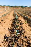 Young brocoli seedlings growing in a large greenhouse field. Agriculture Stock Photo