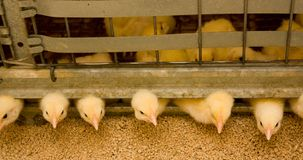 Young broiler chickens at the poultry farm royalty free stock photography