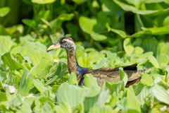 Young  Bronze-winged Jacana Royalty Free Stock Images