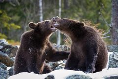 The young Broown Bears, Ursus arctos is looking what to do. Standing young bears are fighting or playing in the forest. In the stock image