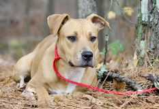 Young brown American Pitbull Terrier Boxer mixed breed dog Royalty Free Stock Images
