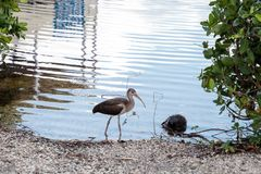 Young brown American White ibis Eudocimus albus bird. Scavenges for food at a park in Naples, Florida, USA Stock Photos