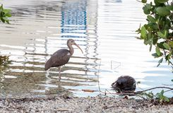 Young brown American White ibis Eudocimus albus bird. Scavenges for food at a park in Naples, Florida, USA Stock Images