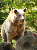 Young brown bear royalty free stock photo
