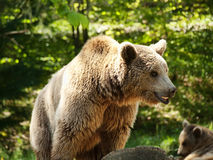 Young brown bear Royalty Free Stock Images