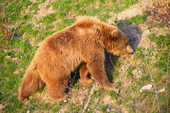 Young brown bear Royalty Free Stock Image