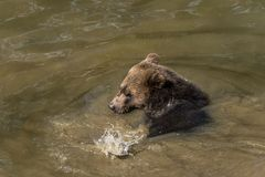 Young brown bear bathing in the river Stock Photo