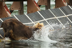 Young brown bear catches prey in the Kurile Lake. Royalty Free Stock Photo