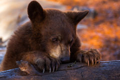 Young brown bear Stock Images