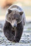 Young brown bear cub. Walking by river Stock Photography