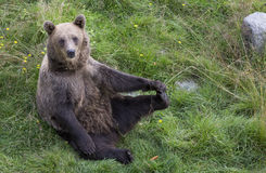 Young brown bear in Finaish Lapland Stock Photo