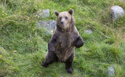 Young brown bear in Finaish Lapland Royalty Free Stock Photography