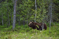 Young brown bear Stock Photo