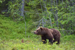 Young brown bear Stock Photos