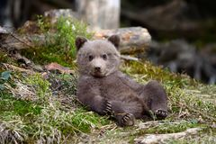 Young brown bear in the forest stock images