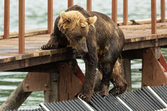 Young brown bear looks prey on fence to account for fish. Kurile Lake. Royalty Free Stock Image