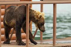 Young brown bear looks prey on fence to account for fish. Kurile Lake. Royalty Free Stock Photo