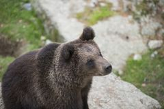 A young brown bear on rock during summer Stock Photo