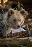 Young brown bear in Slovenia Royalty Free Stock Images