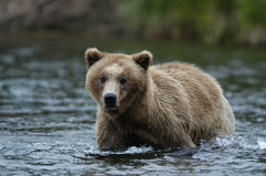 Young Brown bear standing in Brooks River Royalty Free Stock Images